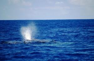 Walbeobachtung mit Lobosonda