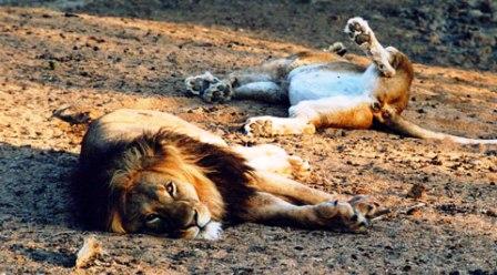 TITEL-za-kapama-lion