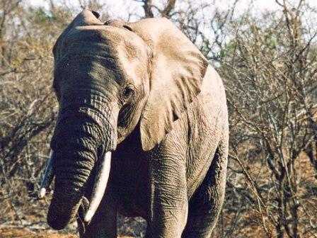 za-kapama-elephant