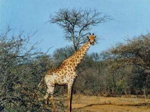 za-kapama-giraffe