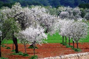Mandelblüte auf Mallorca, Foto: DER-Touristik