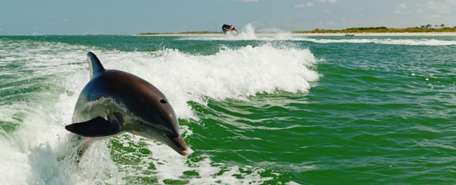 Courtesy_of_Visit_St._Pete_Clearwater_-_Wild_Dolphin